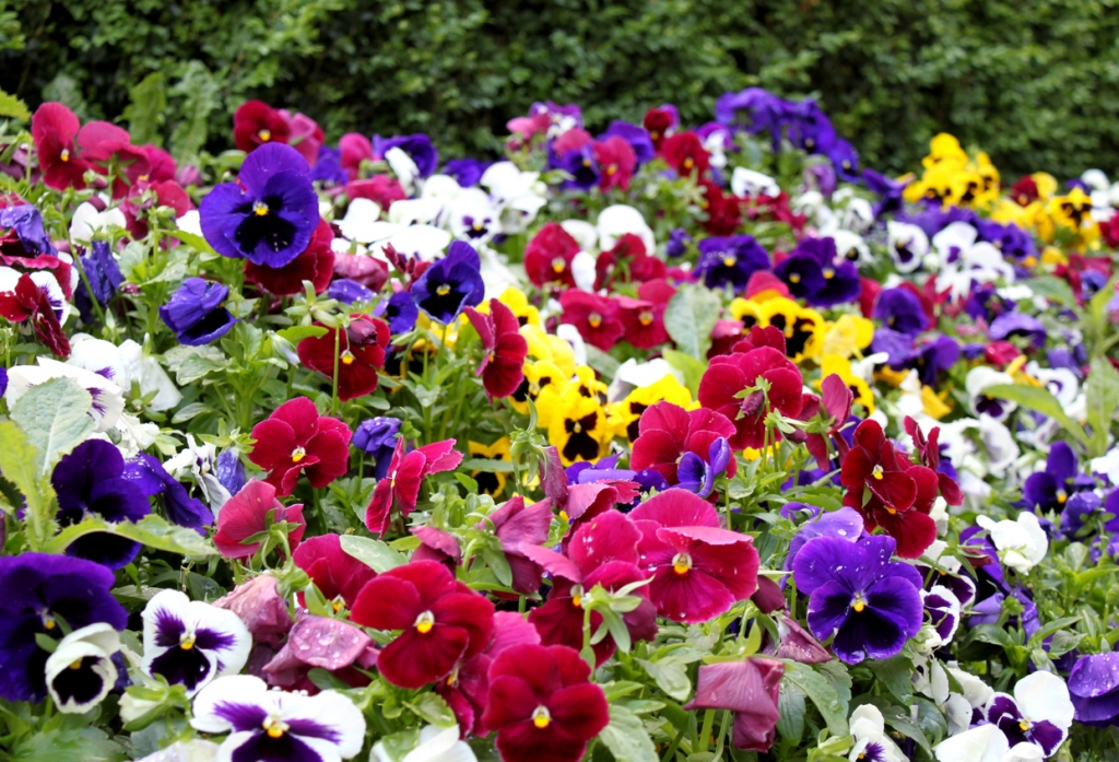 frost-resistant pansies