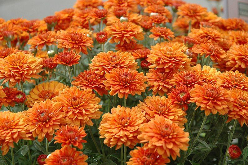 perennial fall chrysanthemum