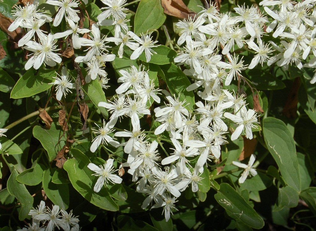 clematis ottawa canadian plant